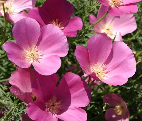 California Poppy Purple Gleam Seeds Eschscholzia Californica