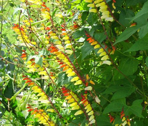 Firecracker Vine Ipomoea Lobata Seeds