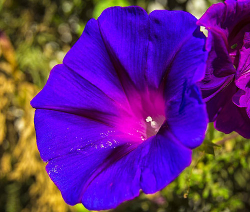 Morning Glory Grandpa Ott Ipomoea Purpurea Seeds