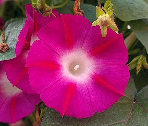 Morning Glory Crimson Rambler Ipomoea Purpurea Seeds