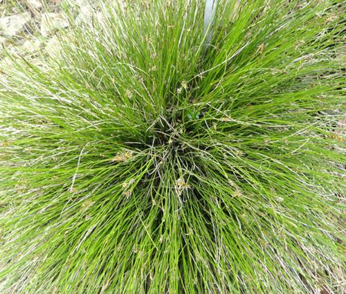 Sedge Bath Carex Davalliana