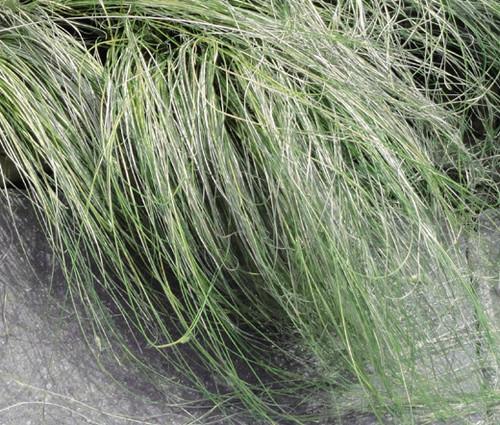 Sedge New Zealand Hair Amazon Mist Carex Comans Seeds