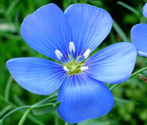 Flax Blue Annual Linum Usitatissimum Organic Seeds
