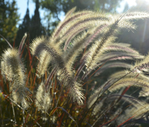 Fountain Grass Black Pennisetum Alopecuroides Viridescens Seeds