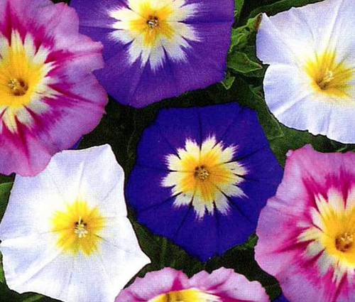 Morning Glory Dwarf Ensign Mix Convolvulus Tricolor Minor Seeds