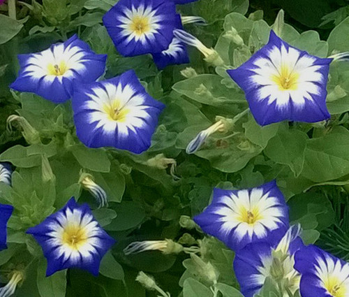 Morning Glory Dwarf Ensign Royal Blue Convolvulus Tricolor Minor Seeds