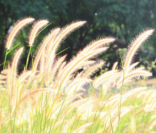 Fountain Grass Pennisetum Alopecuroides Seeds