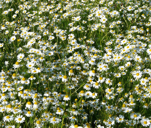 Chamomile German Matricaria Recutita Seeds 2