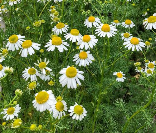 Chamomile German Matricaria Recutita Seeds