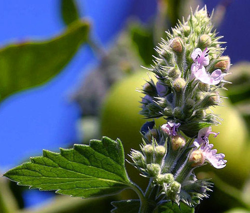 Catnip Nepeta Cataria Seeds