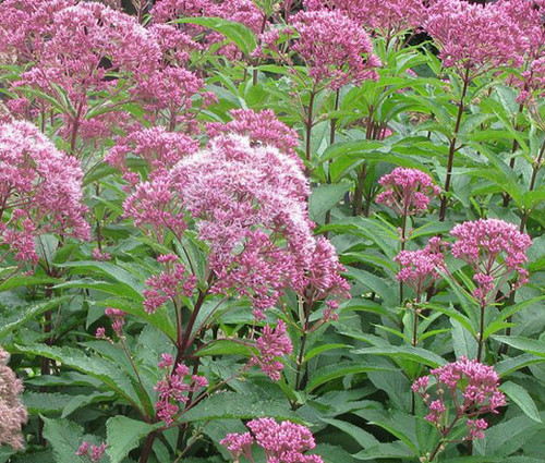Joe Pye Weed Spotted Eupatorium Maculatum Seeds