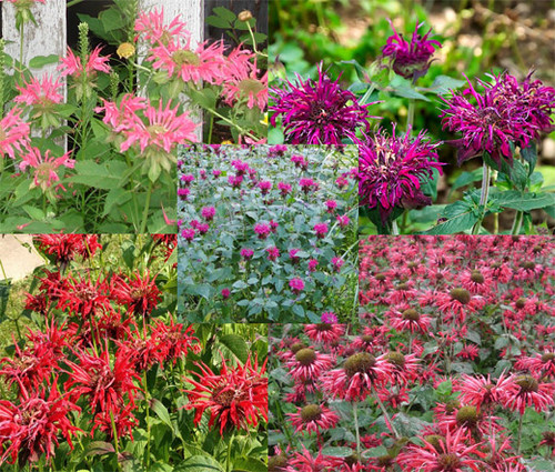 Bee Balm Panorama Mix Monarda Didyma Seeds