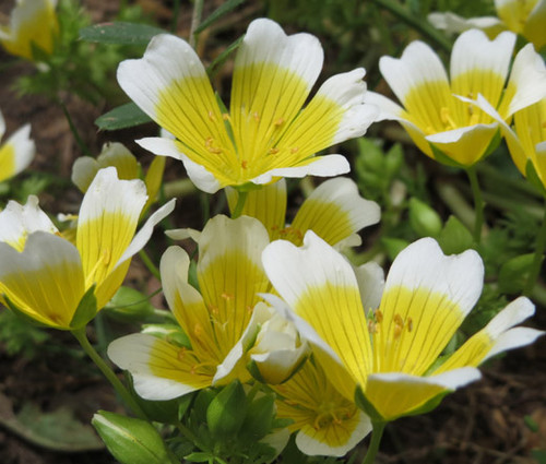 Meadowfoam Common Limnanthes Douglasii Seeds