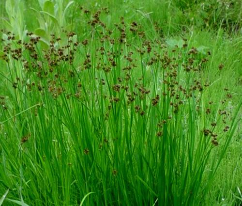 Rush Swordleaf Juncus Ensifolius Seeds