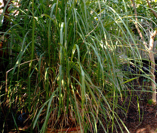 Lemon Grass East Indian Cymbopogon Flexuosus Seeds