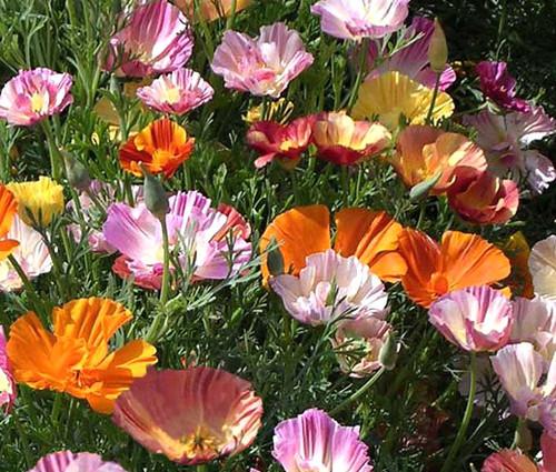 California Poppy Ballerina Mix Eschscholzia Californica Seeds
