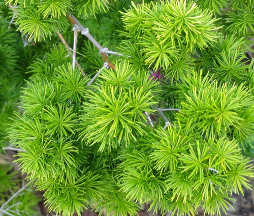 Asparagus Ming Fern Asparagus Myriocladus Seeds