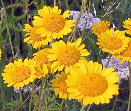 Marguerite Golden Anthemis Sancti-Johannis Seeds