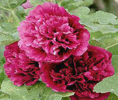 Hollyhock Queeny Purple Alcea Rosea Seeds