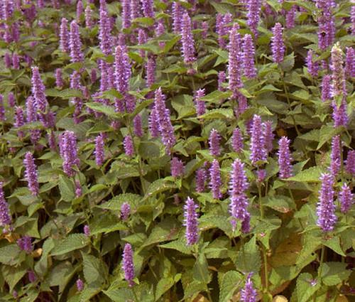 Hyssop Lavender Licorice Mint Agastache Foeniculum Seeds