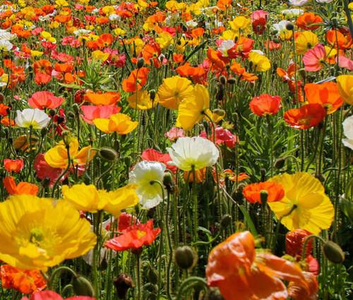 Iceland Poppy Papaver Nudicaule Seeds