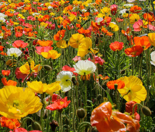 Iceland Poppy Papaver Nudicaule Seeds