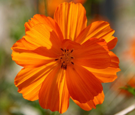 Cosmos Sulphur Ladybird Orange Dwarf Cosmos Sulphureus Seeds