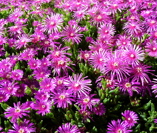 100 PCS Seeds Delosperma Cooperi Table Mountain Home Garden Plants Bonsai 2019 N