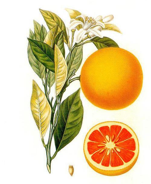 Botanical drawing of Citrus aurantium