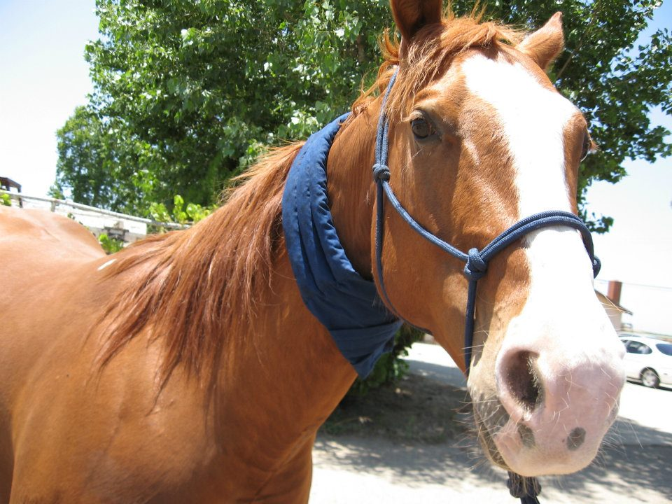 Equine cool wraps and canine cool collars.