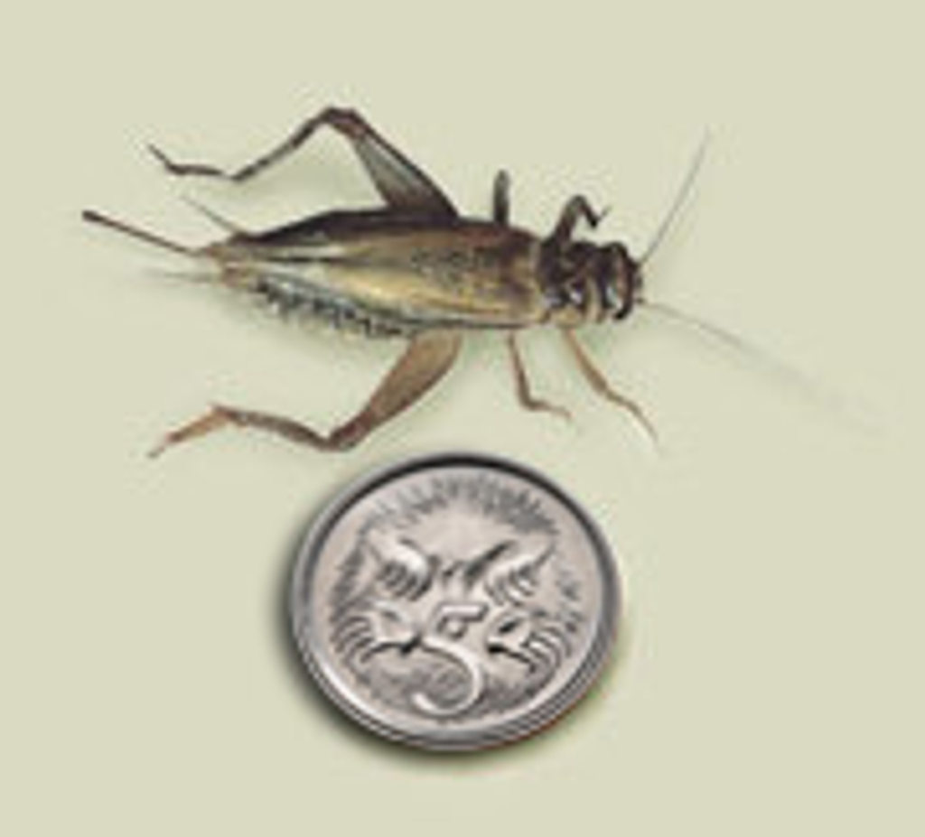 Frozen Crickets 1kg