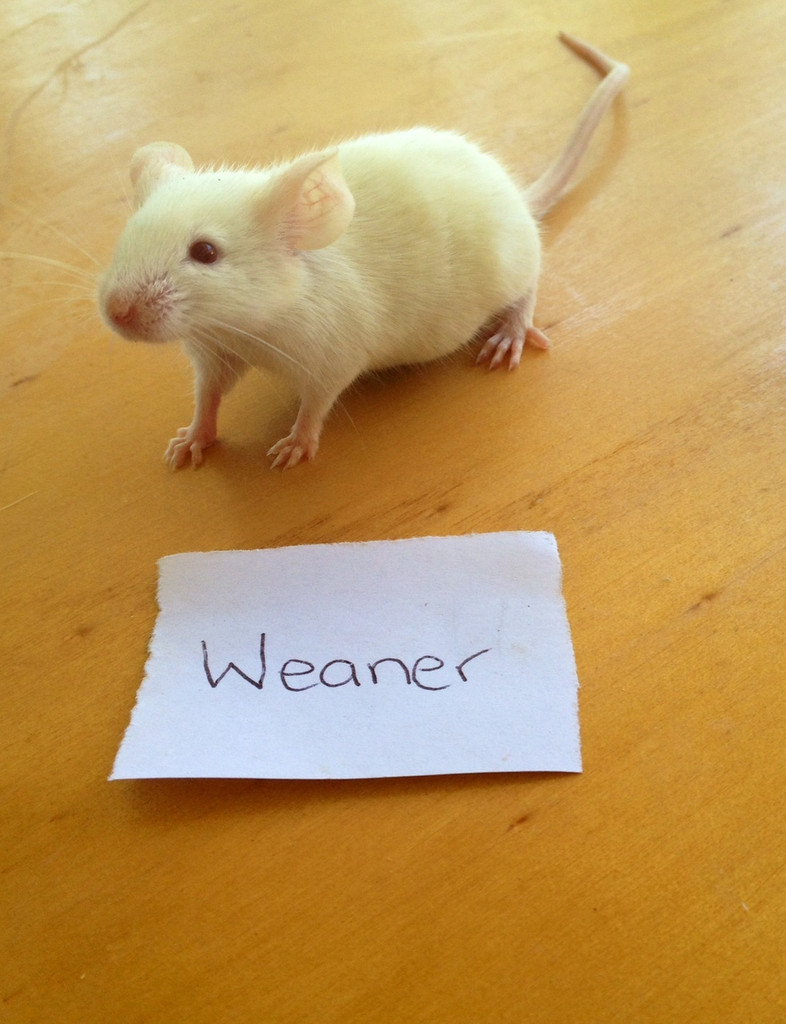 Frozen Weaner Mice - 7 pack