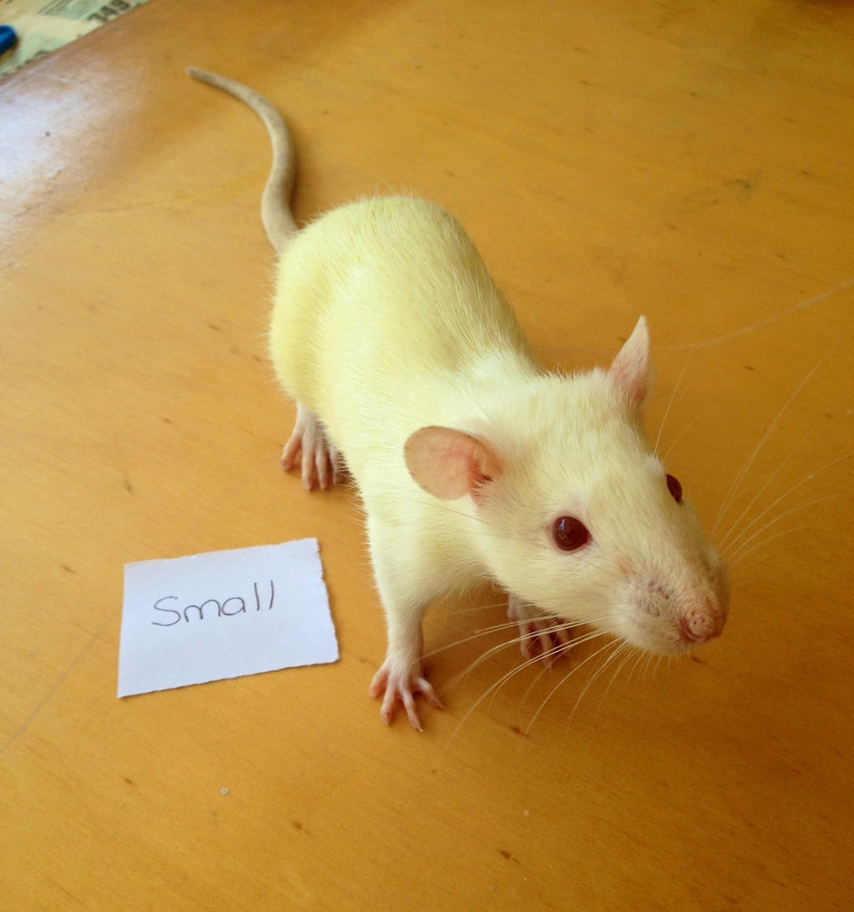 Frozen Small Rats - 5 pack