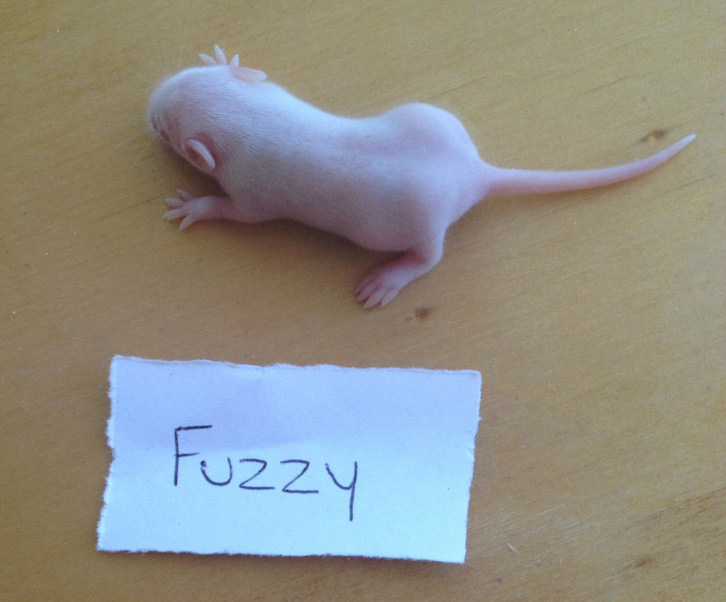 Frozen Fuzzy Mice - 50 pack