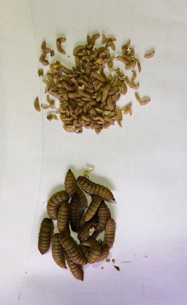 Mini Black Soldier Fly Larvae 25g