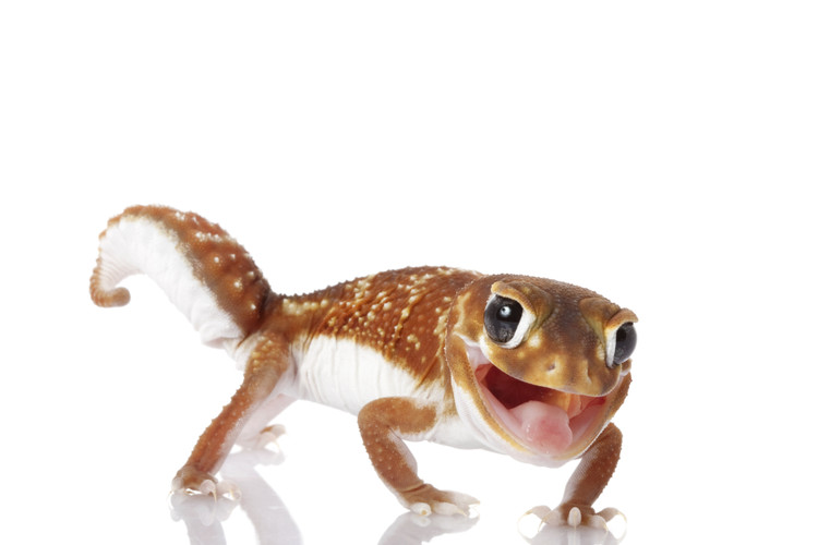 Fast Five Facts -Smooth Knob Tail Gecko