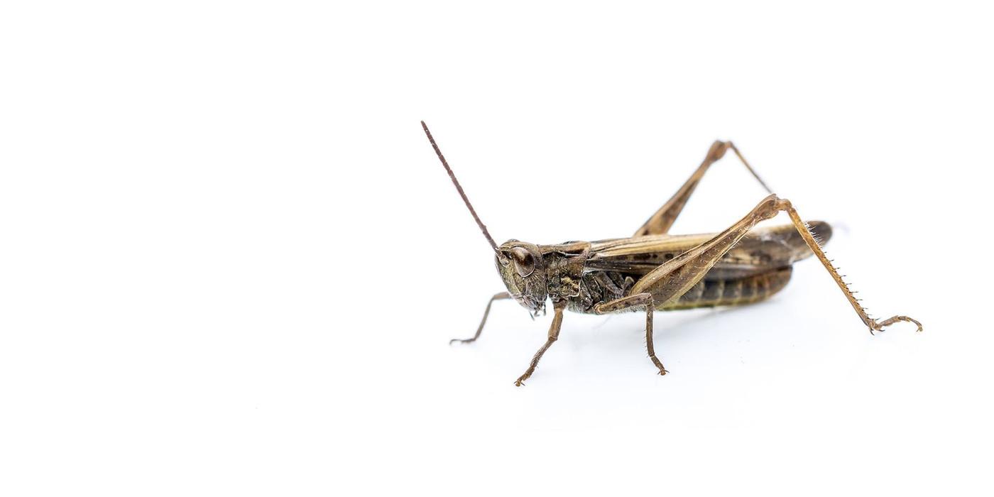Crickets Pin 0.15cm