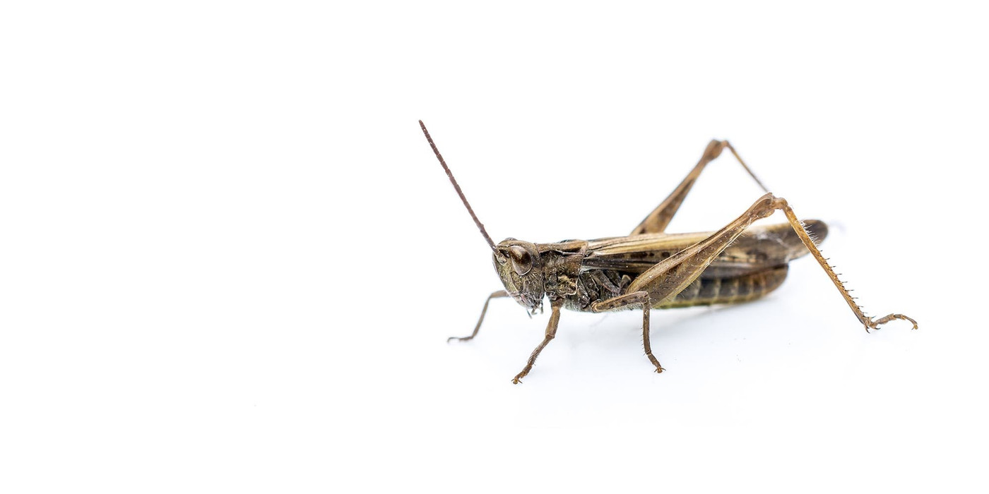 Crickets Small 0.63cm