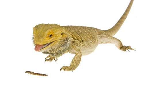 bearded dragon eating a mealworm