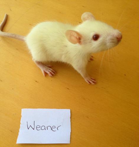 Frozen Weaner Rats - 5 pack