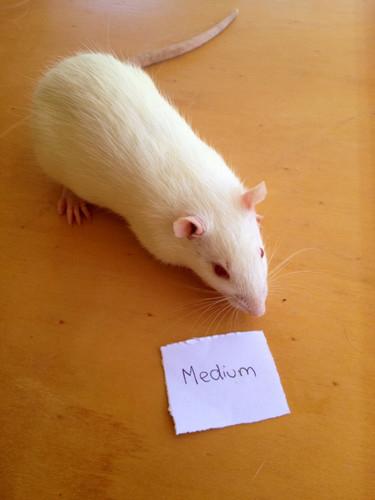 Frozen Medium Rats - 3 pack