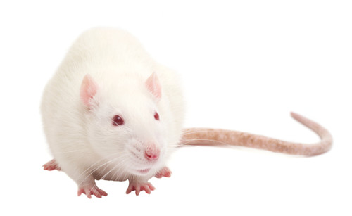Frozen rats snake food