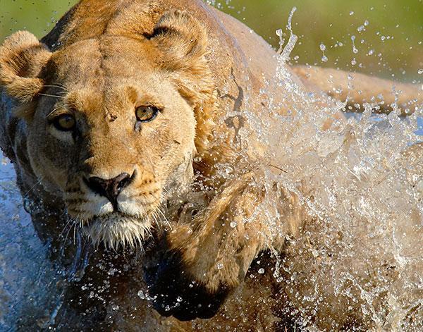 charging-lioness-dark.jpg
