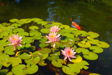 Koi Pond Maintenance for Healthy Fish