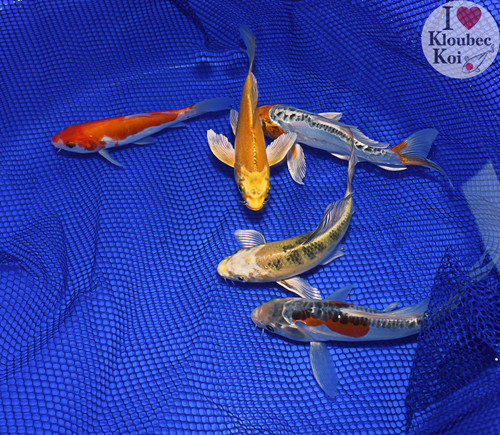 """(5) 6-7"""" Pond Pack Butterfly (#8978J5)"""
