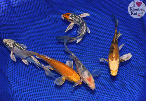 """(5) 6-7"""" Pond Pack Butterfly (#8984J6)"""