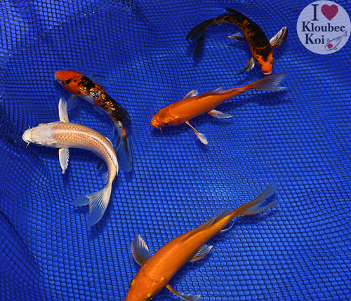 """(5) 5-6"""" Pond Pack Butterfly (#9002J8)"""