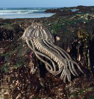 Jellyfish at Carmel Beach