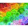 Succulent Rainbow Puzzle