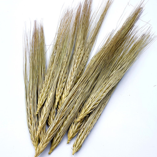Dried Barley
